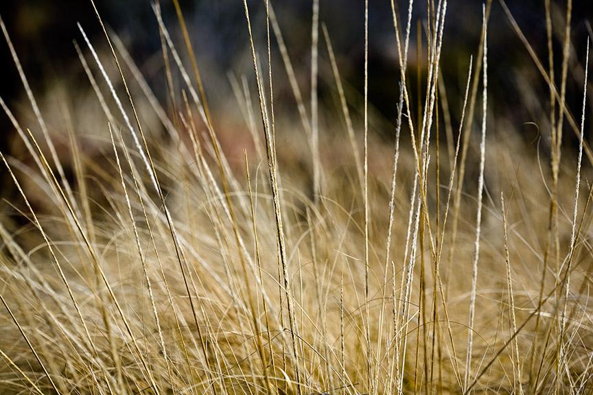 Deer Grass