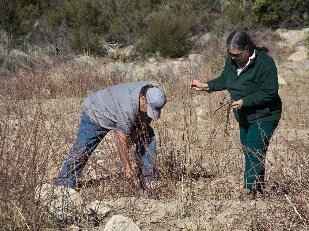 Gathering Rhus trilobata