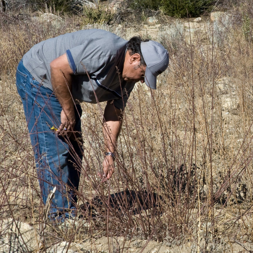 Joe Moreno harvests Rhus trilobata