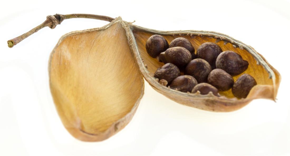 bladderpod seeds rec 0310.jpg