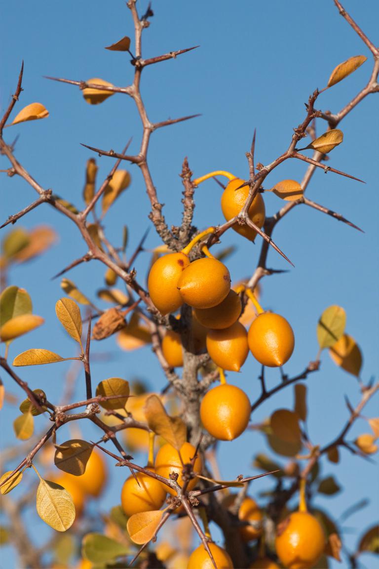 desert_apricot
