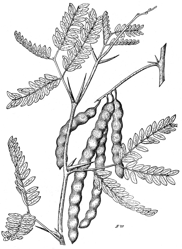 mesquite_drawing_tree