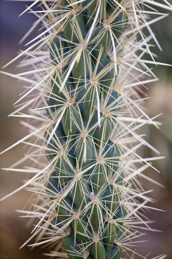 Ocotillo Cactus Close Up
