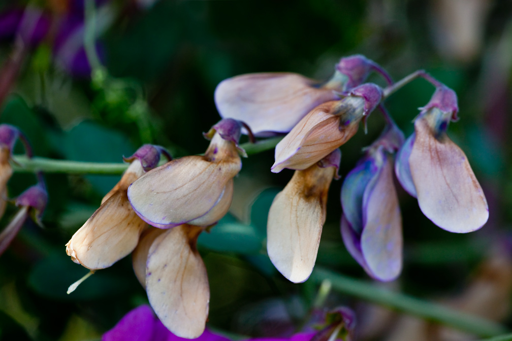 US Wildflower - Perennial Pea, Sweet Pea, Everlasting Pea