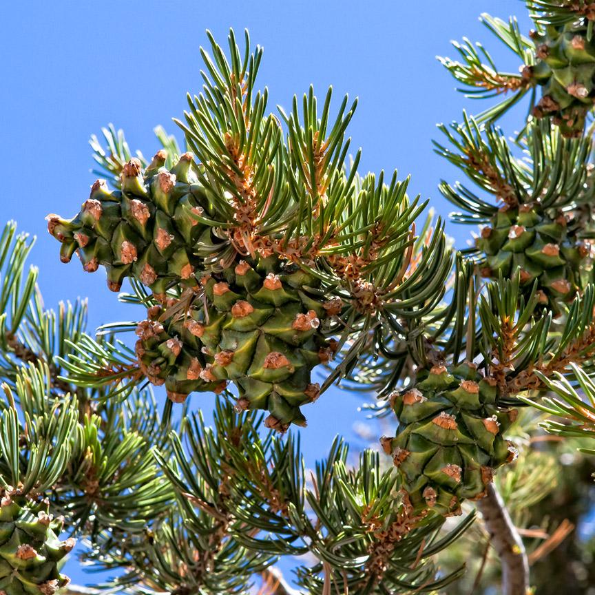 Pinyon Pine Cones Pinus Quadrifolia Deborah Small S