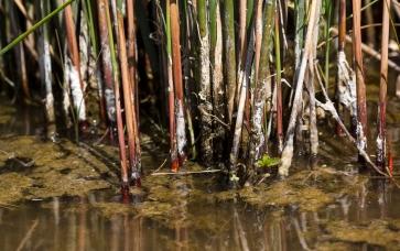 Juncus textilis habitat: Cahuilla reservation