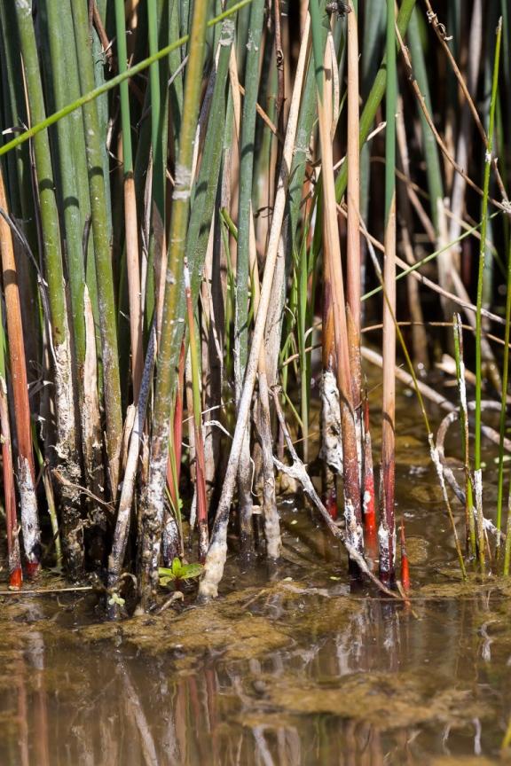 Juncus fields cahuilla water 8043