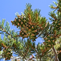 Pinyon Pine Nut season