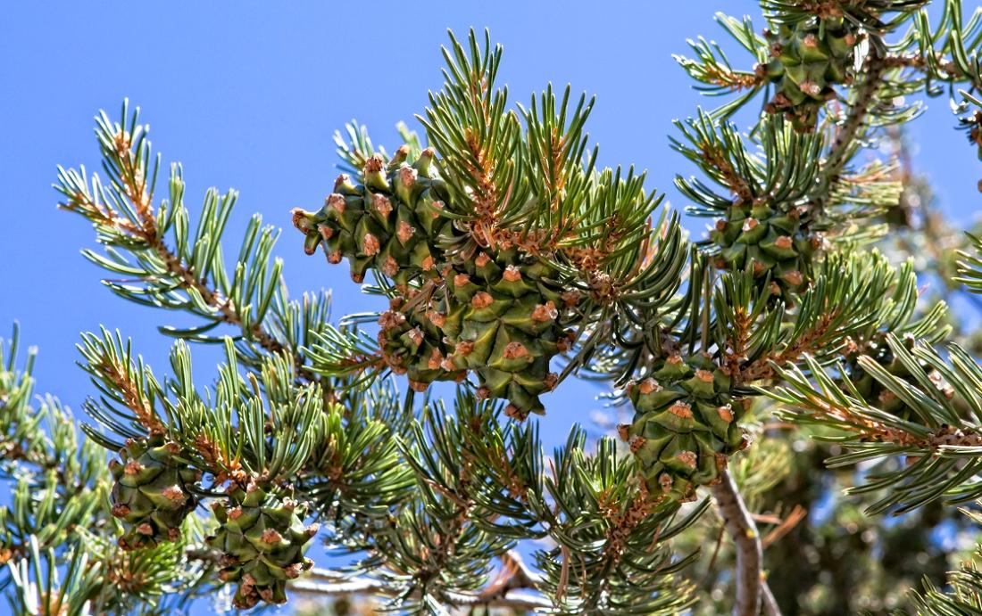 pinyon cones 74-75