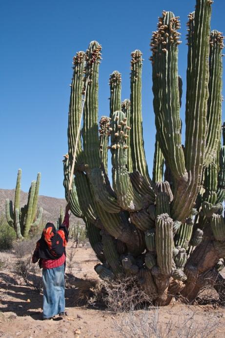 Raquel Hoeffer gathering cardon cactus fruits