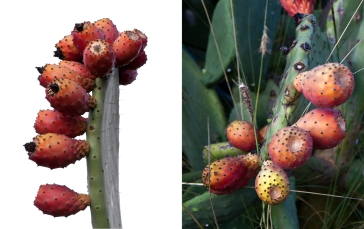 prickly pear cactus fruits