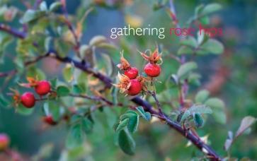 gathering rose hips