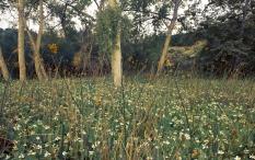 yerba mansa field