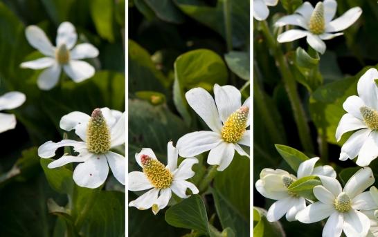 yerba mansa flowers
