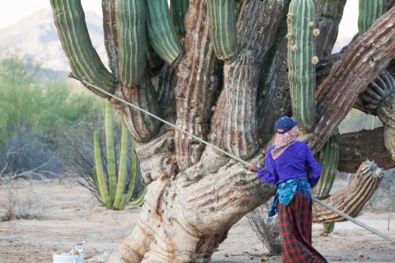 Lola Torres gathers cardon cactus fruit