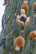 cardon cactus fruit
