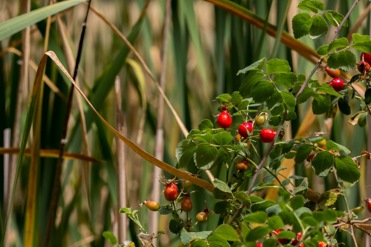 rose hips and cattails