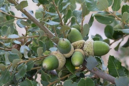 valley oak acorns