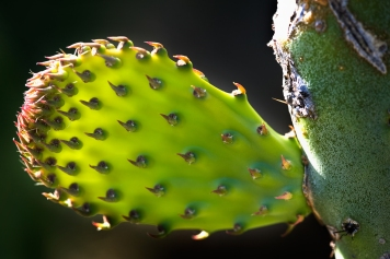 prickly_pear_9697