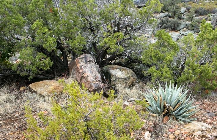 Juniper agave landscape
